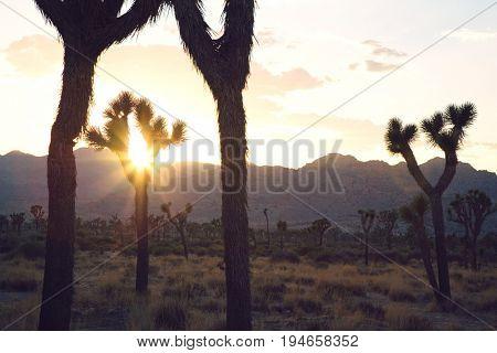 Silouette of Joshua trees in desert at sunset