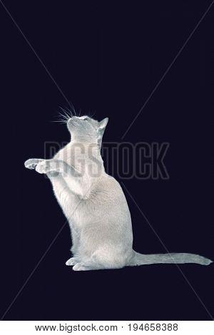 Blue Burmese cat sitting on hind legs against black background