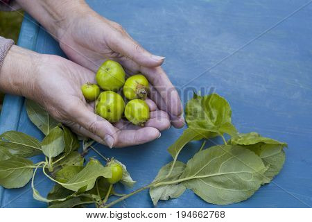Female hands holding green unripe apples over a blue table outdoor cropped photo