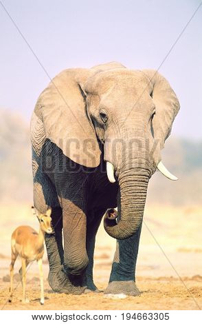 African Elephant (Loxodonta Africana) and Gazelle on savannah