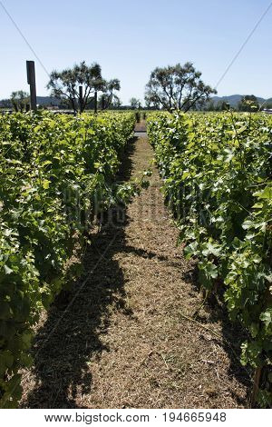 Grapevine rows in a vineyard in Napa Valley California USA