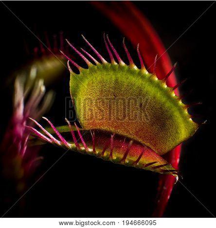 A Venus Flytrap carnivorous plant up close waiting for its prey