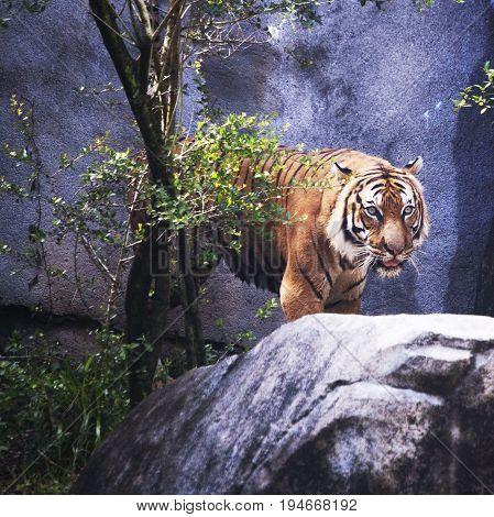 Malaysian Tiger, morning pace, Houston Zoo, female