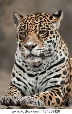 Jaguar (Panthera onca). Wildlife animal.