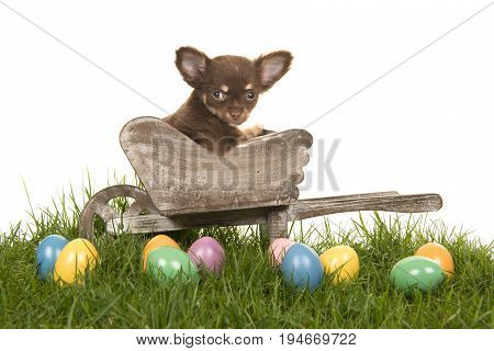 Chihuahua puppy in a wheelbarrow on a grass with colored easter eggs on a white background