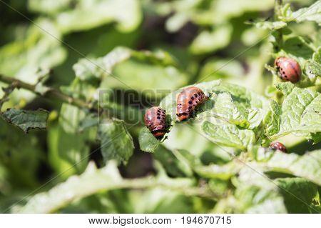 Colorado beetle on potato leaf. Colorado potato beetle larva.