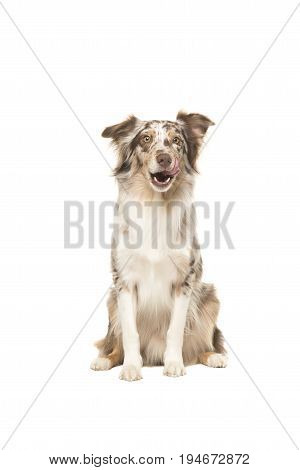 Sitting australian shepherd looking at the camera licking its lips isolated on a white background