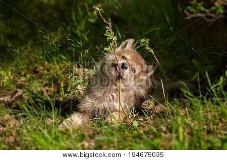 Grey Wolf (Canis lupus) Pup Chews on Plant - captive animal