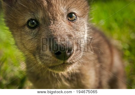 Grey Wolf (Canis lupus) Pup Extreme Close Up - captive animal