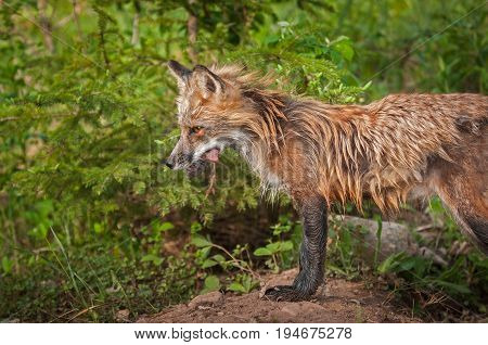 Red Fox Vixen (Vulpes vulpes) Stands With Meat - captive animal