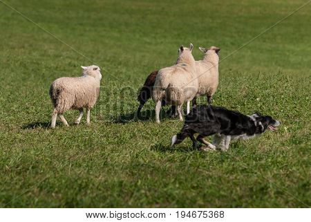 Stock Dog Cuts Right Around Group of Sheep (Ovis aries) - at sheep herding trials