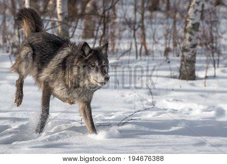 Black Phase Grey Wolf (Canis lupus) Runs Right - captive animal