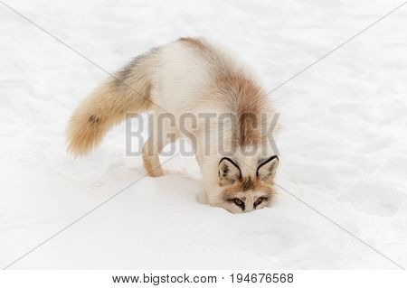 Red Marble Fox (Vulpes vulpes) Nose in Snow - captive animal