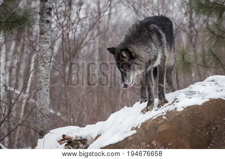 Black Phase Grey Wolf (Canis lupus) Licks Nose Looking Down - captive animal