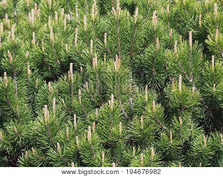 Young green escapes of a coniferous tree as background