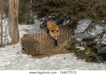 Amber Phase Red Fox (Vulpes vulpes) Jumps Off Rock - captive animal