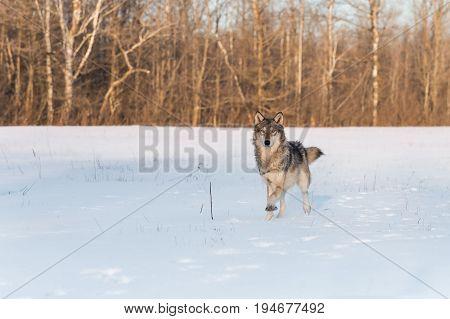 Grey Wolf (Canis lupus) Runs Forward - captive animal