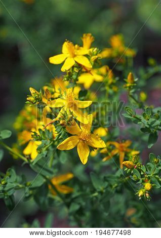 The blossoming herb a St. John's Wort