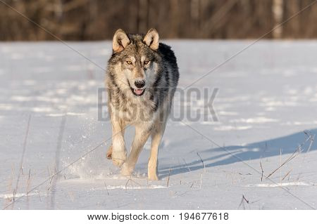 Grey Wolf (Canis lupus) Runs Straight Forward - captive animal