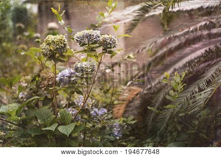 Artistic textured photo of neglected garden featuring Hydrangeas and Sago Palm with a painterly vintage ambiance. Faux scratches and texture suggest glass plate processing.