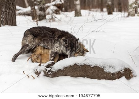 Grey Wolves (Canis lupus) Tussle Over White-Tail Deer - captive animals