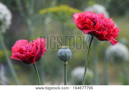 Green poppy and red poppy flowers in garden. Hashish (papaver) field.