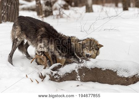 Grey Wolf (Canis lupus) Snarls At Black-Phase Grey Wolf - captive animals