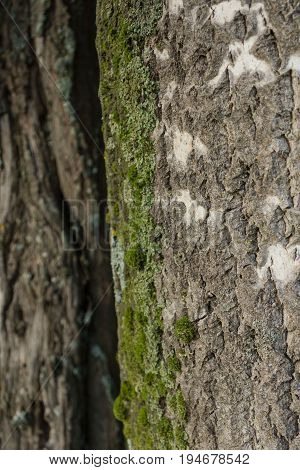 Old wood tree bark texture with green moss and another tree bark on background/ wooden texture. Natural