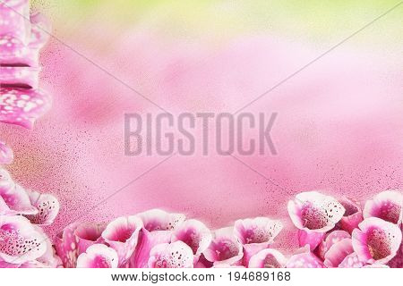 Pink background with beautiful purple flowers Foxglove