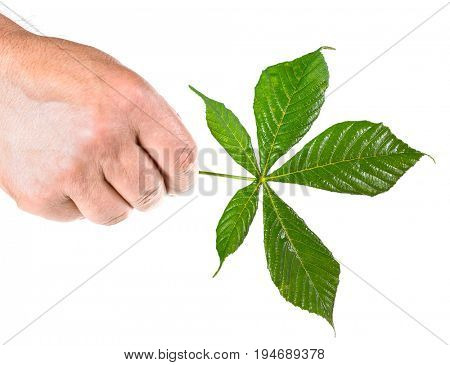 Chestnut leaf in hand isolated on white background
