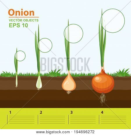 Vector illustration. Phases of growth of a onion in the garden. Growth development and productivity of onion. Growth stage. Distance between plants. Infographic concept