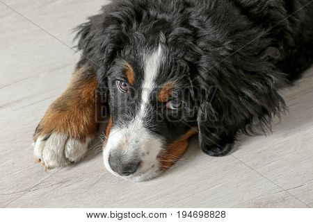 Cute funny dog lying on floor at home, closeup