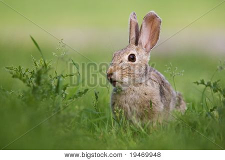A wild rabbit grazing in green grass and thistles