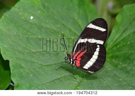 A pretty Eleuchia longwing butterfly lands on a plant in the garden.