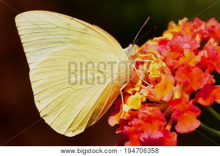 An orange-barred sulfur butterfly feeds on nectar from a flower in the gardens.