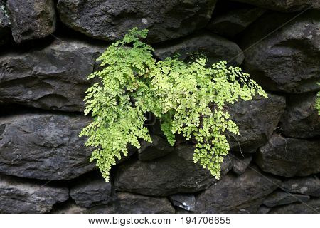 Green leaves of Maidenhair fern (Adiantum capillus-veneris) growing in rock stones.