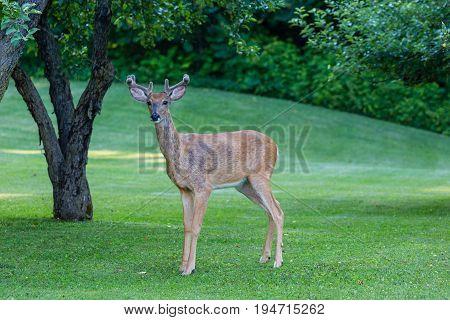 Eight point buck deer (odocoileus virginianus) in velvet standing on a fresh cut lawn
