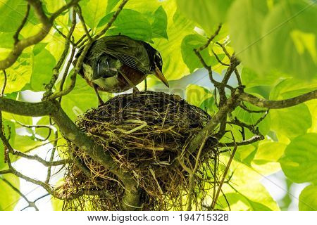 A red breasted robin staning on it's nest up in a tree