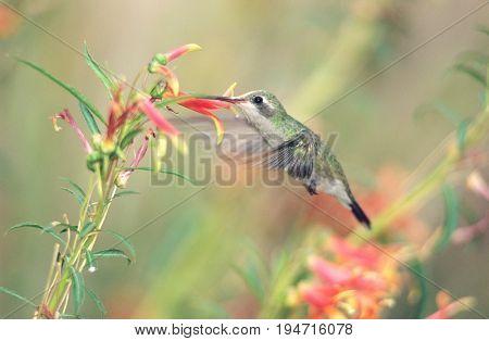 Humming bird feeding from flower