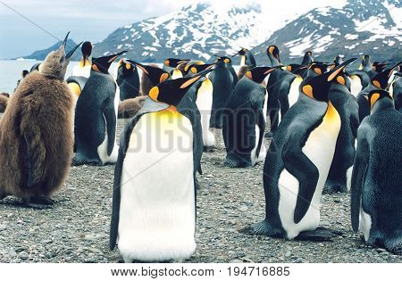 Large collony of Penguins