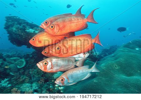 Sodwana Bay, Indian Ocean, South Africa, school of cresent-tail bigeyes (Priacanthus hamrur) near coral reef
