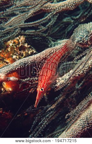 Mozambique, Indian Ocean, longnose hawkfish (Oxycirrhites typus) on black coral (cirrhipathes sp.), close-up