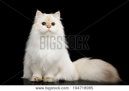 British breed Cat White color-point with magic Blue eyes and Furry tail Sits on Isolated Black Background, front view