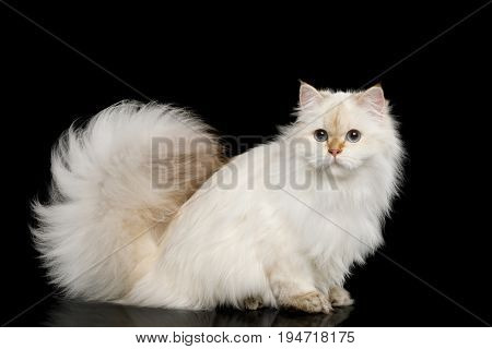 British breed Cat White color-point with magic Blue eyes and Furry tail Sits on Isolated Black Background, Side view