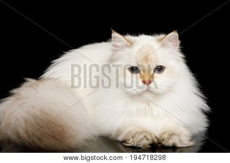 British breed Cat White color-point with magic Blue eyes, Lying on Isolated Black Background