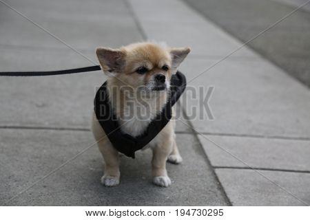 Cute small dog beige colour leash sitting asphalt
