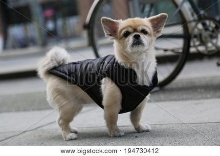 Cute small dog cloth beige colour leash