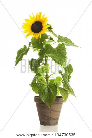 Sunflower in clay flower pot isolated on white background