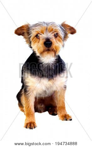 Cute small dog with cutted hair isolated on a white background