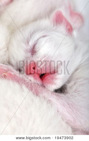 White cat nursing newborn kitten.